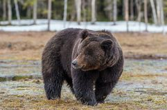 Одичалый лес бурого медведя весной Стоковое Фото