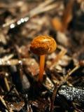 Одичалый, лес, гриб Фото макроса Стоковое Изображение