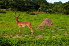 Одичалый мужчина impala антилопы (Южная Африка) Стоковое Изображение RF