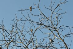 Одичалый окунь голубя на ветви верхней части дерева Стоковые Фотографии RF