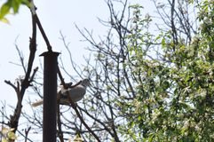 Одичалый окунь голубя на ветви верхней части дерева Стоковые Изображения