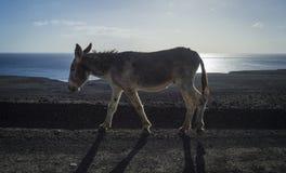 Одичалый осел идя вдоль прибрежного пути Стоковое Изображение RF