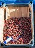 Одичалый плодоовощ плода шиповника для того чтобы сделать чай плода шиповника Стоковые Изображения RF