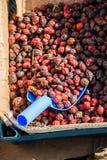 Одичалый плодоовощ плода шиповника для того чтобы сделать чай плода шиповника Стоковое Изображение RF