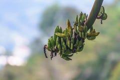 Одичалый пук банана незрелый на зеленой природе Стоковое Фото