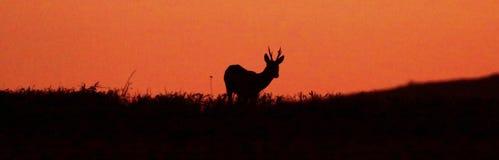 Одичалый самец оленя косуль на заходе солнца silhouetted на банке Девона на Dartmoor Стоковые Изображения RF