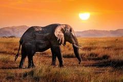 Одичалый слон в африканской саванне на фоне красивого оранжевого захода солнца стоковая фотография rf