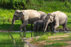 Одичалый слон Стоковые Фото