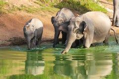 Одичалый слон Стоковые Изображения RF