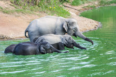 Одичалый слон Стоковое фото RF
