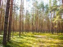 Одичалый сосновый лес Стоковое фото RF