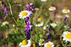 Одичалый стоцвет поля в луге Стоковые Изображения