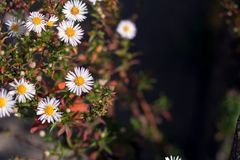 Одичалый стоцвет с естественной предпосылкой Стоковая Фотография