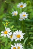 Одичалый стоцвет цветет на поле на солнечный день стоковое фото