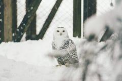 Одичалый сыч в лесе снега стоковые фотографии rf