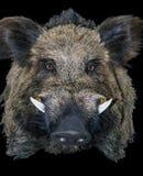 Одичалый трофей звероловства хряка свиньи Стоковая Фотография
