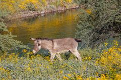 Одичалый Burro весной Стоковое Фото