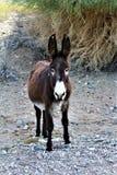 Одичалый Burro Earp, Калифорния, Соединенные Штаты Стоковые Фото