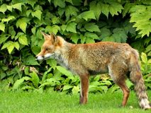 Одичалый Fox в моем саде в дневном времени Стоковое Изображение