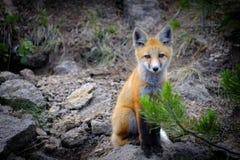 Одичалый Fox около вертепа в животных глуши стоковые изображения