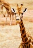 Одичалый Giraffe Стоковая Фотография