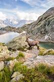 Одичалый Ibex перед иконической горой Монблана и озеро большая возвышенность на солнечный день стоковое фото rf