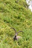 Одичалый ibex Стоковые Фотографии RF