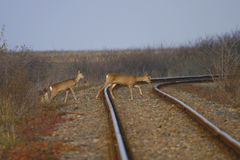 Одичалый railway скрещивания оленей Стоковые Изображения RF