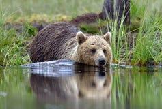 Одичалый Ursus Arctos бурого медведя в воде Стоковое Фото