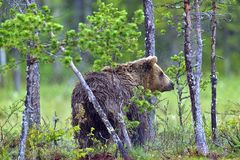 Одичалый Ursus Arctos бурого медведя в лесе лета Стоковая Фотография RF