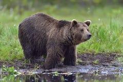 Одичалый Ursus Arctos бурого медведя в лесе лета Стоковые Фотографии RF