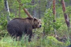 Одичалый Ursus Arctos бурого медведя в лесе лета Стоковое Фото
