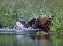Одичалый Ursus Arctos бурого медведя трясет в воде Стоковое Фото