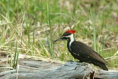 одичалый woodpecker Стоковые Изображения
