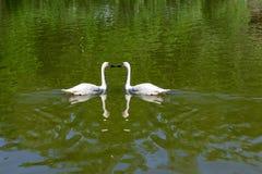 2 одичалых белых лебедя плавая Стоковые Фото