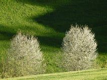 2 одичалых вишневого дерева в цветени на зеленых холмах Стоковые Фото