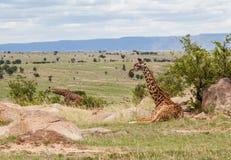 2 одичалых жирафа в Африке Стоковые Изображения