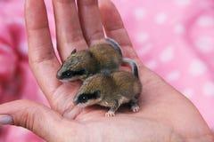 2 одичалых мыши на ладони стоковое фото