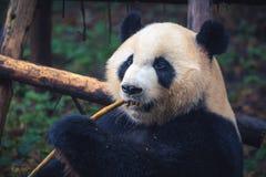 Одна взрослая гигантская панда есть бамбуковую ручку в конце вверх по портрету стоковая фотография