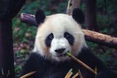 Одна взрослая гигантская панда есть бамбуковую ручку в конце вверх по портрету стоковое изображение