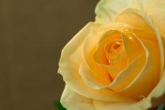 Одна желтая роза на бежевой предпосылке, макрос стоковое изображение