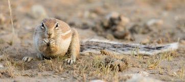 Одна земная белка ища еда в сухом песке Kalahari Стоковые Фото