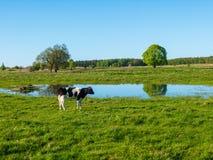 Одна корова пасет на луге около пруда стоковые фото