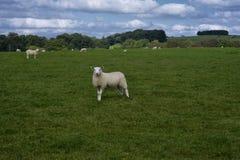 Одна любопытная овца в поле стоковая фотография rf