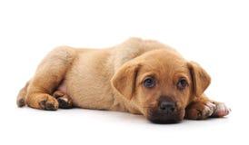 Одна маленькая собака Стоковое Изображение