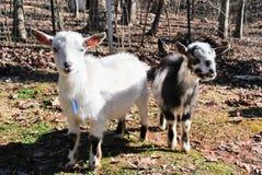 Одна мини коза, 2 мини козы Стоковое фото RF