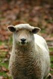 одна овца Стоковые Фотографии RF