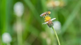 Одна пчела на одном цветке Стоковая Фотография
