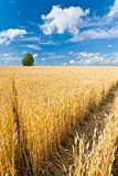 одна пшеница вала поля Стоковые Фотографии RF