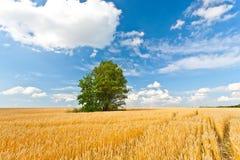 одна пшеница вала поля Стоковая Фотография RF